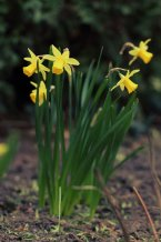Bunch of daffodils | Crane Garden Buildings