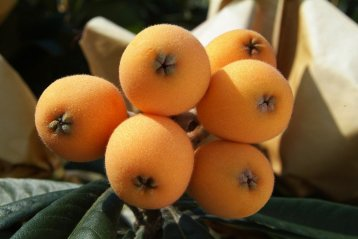 Chinese Loquats