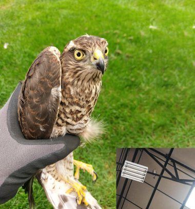 Sparrowhawk Rescue