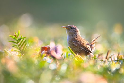 Wren in Field
