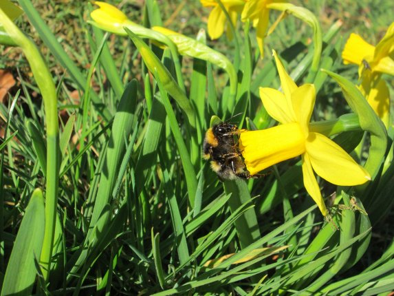 Bumblebee on Daff