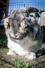 Grey pet rabbit